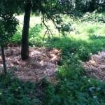 Mulchen aan de voeten van onze fruitbomen